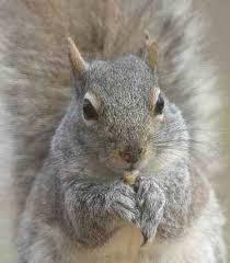 L`écureuil