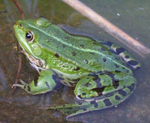 Saviez-vous que les grenouilles meurt l'hiver?