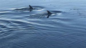Des dauphins à Lamèque